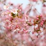 桜の開花予想の方法 開花宣言や満開の条件は?